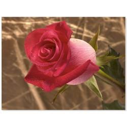 "Фотокартина ""Троянда"""