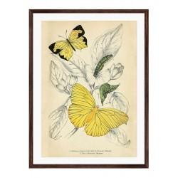 """Постер в рамі """"Butterflies"""""""